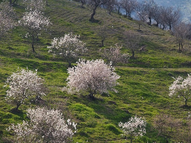 The Almond Tree The Promise And The Beauty A Symbol Of