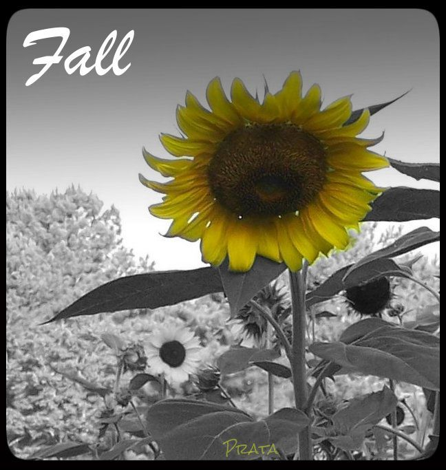 sunflower2splashed fall