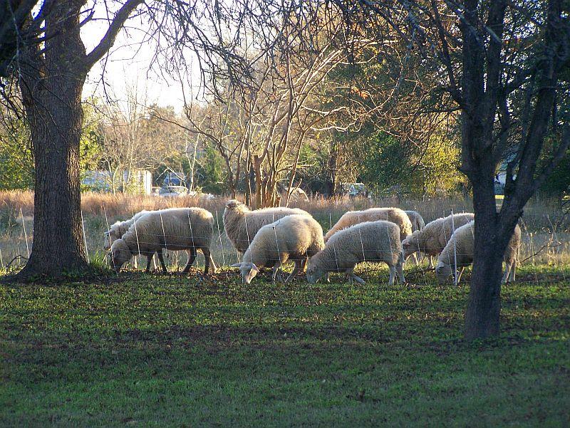 sheep grazing at dawn