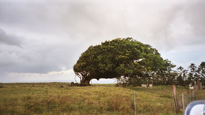800px-Windswept_tree_on_Big_Island,_Hawaii