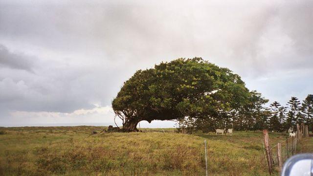800px-Windswept_tree_on_Big_Island,_Hawaii