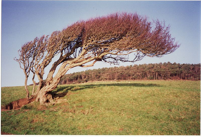 Wind_bent_tree,_near_Golden_Gap,_Dorset_-_1990s_(16644330374)