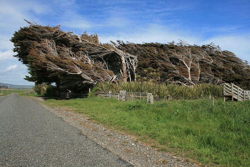 Wind_bent_trees_-_panoramio