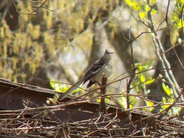 mockingbird in tree