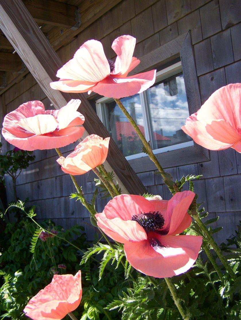 100_1908 poppies