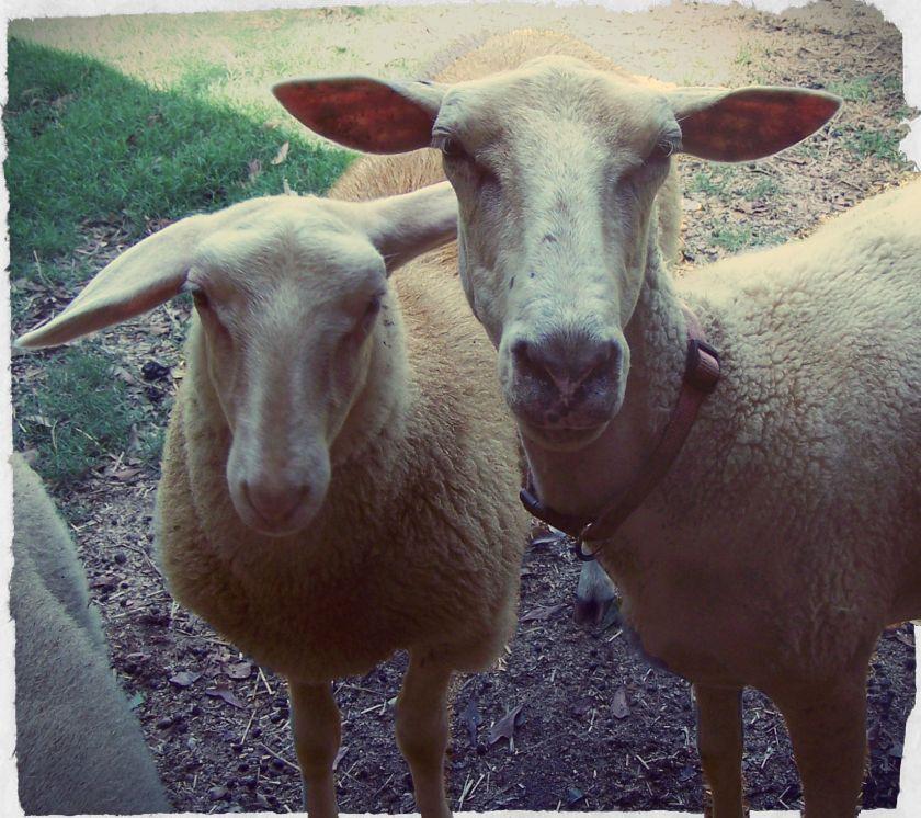 100_2186two sheep