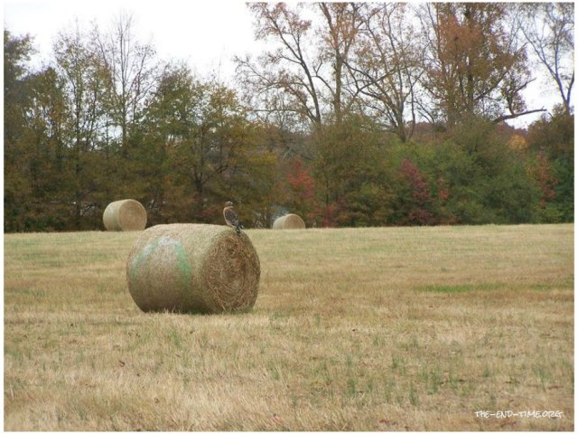 hawk on hay.jpg