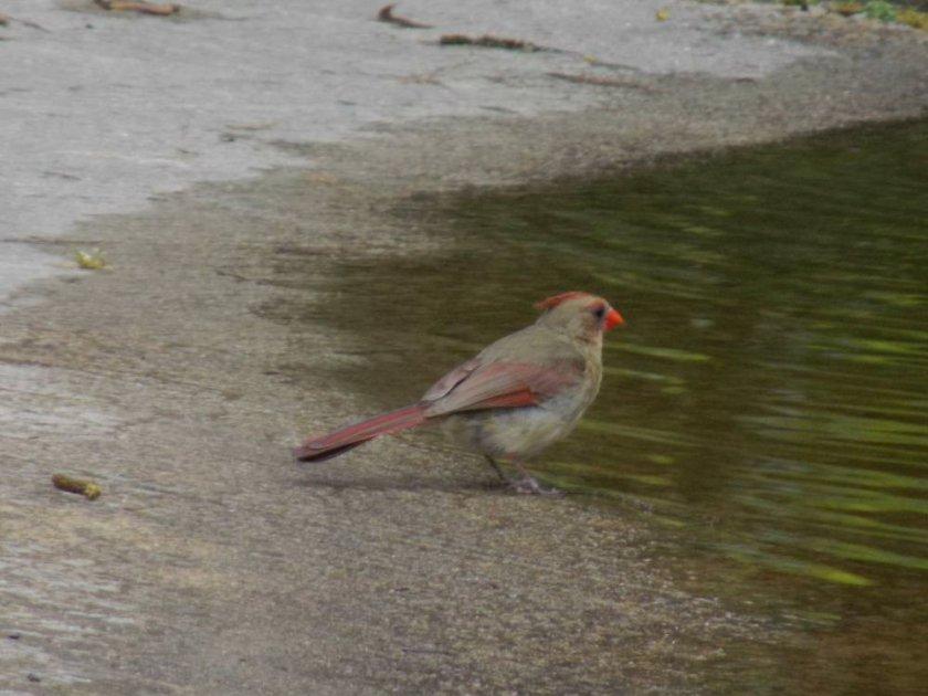 cardinal6