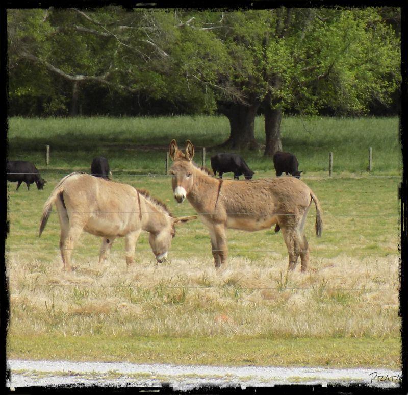 donkeys 2a